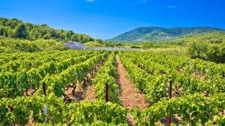 vignobles sur l'île de vis en croatie