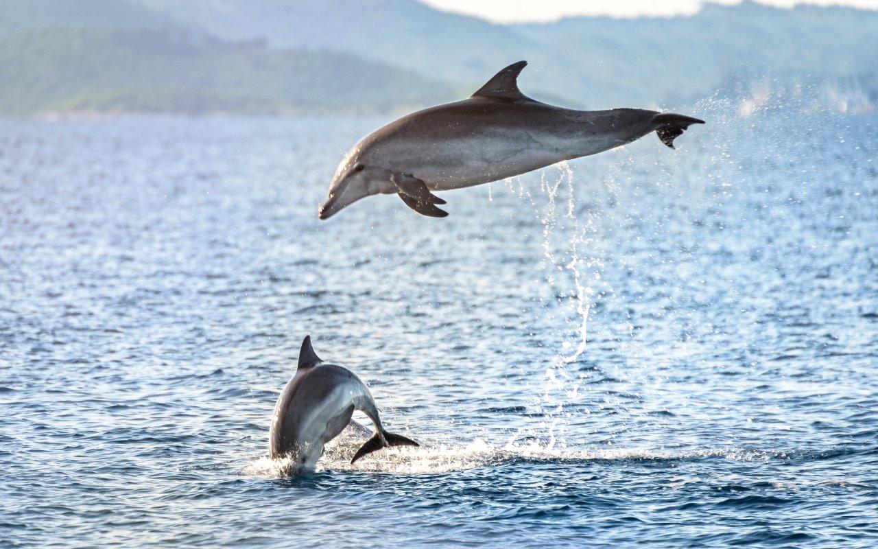 Grands dauphins en Croatie