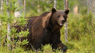 Observation ours bruns - vacances actives sur mesure Slovénie Europe