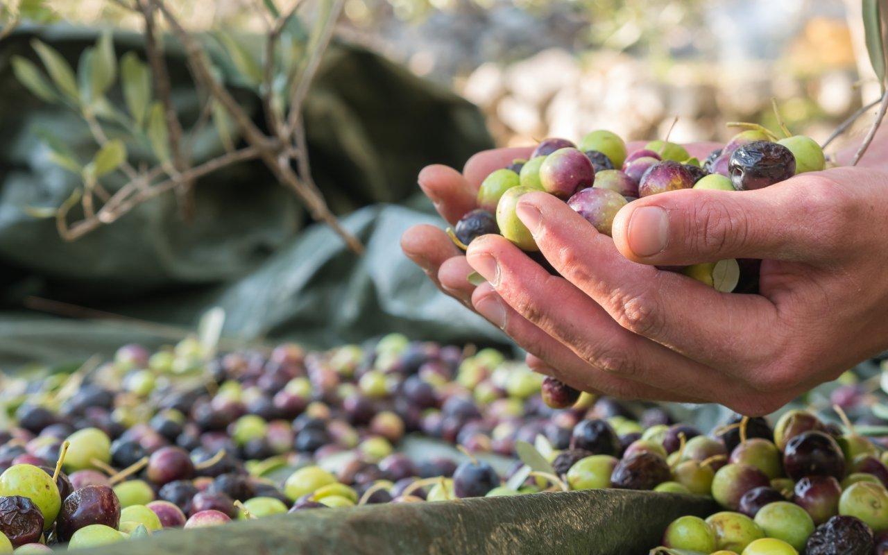 recolte des olives en croatie - terra balka
