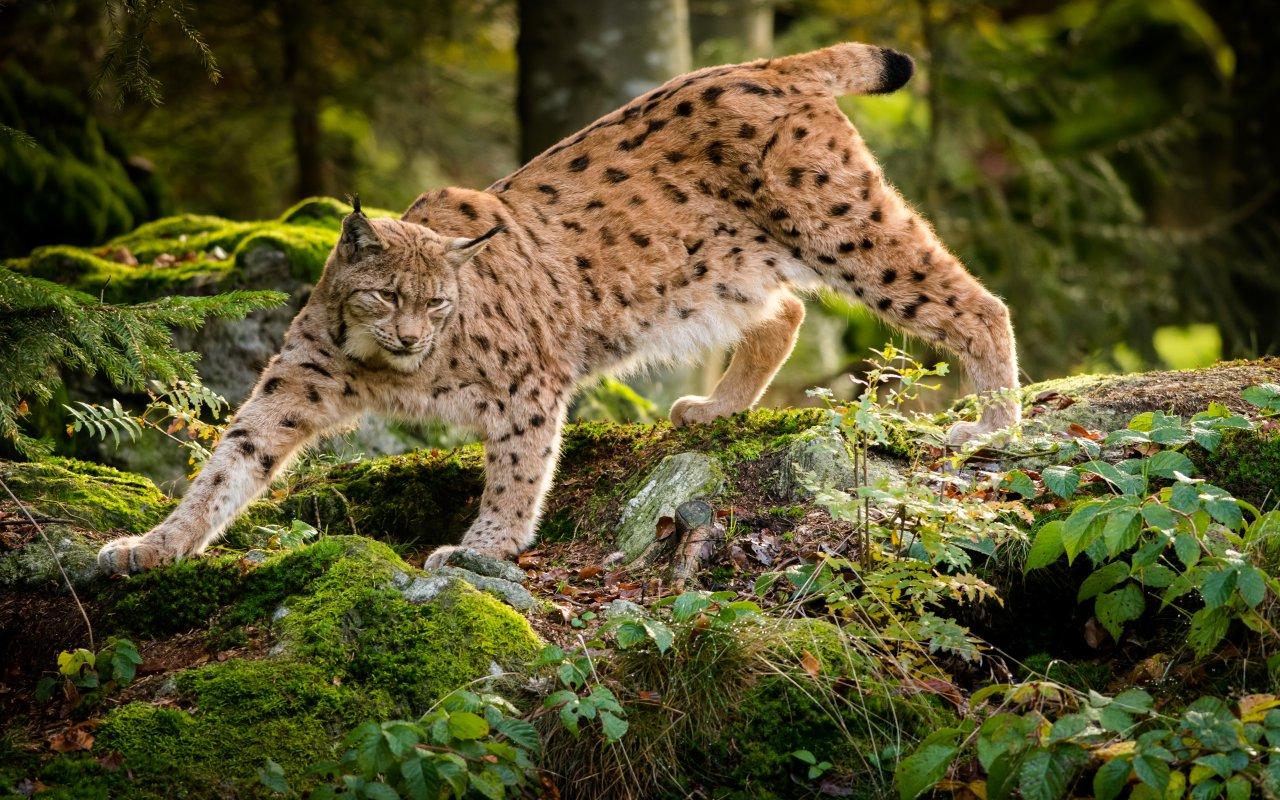 Lynx en Croatie