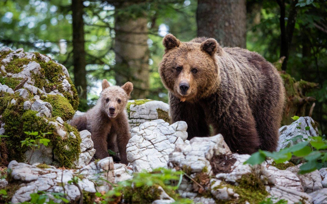 Ours bruns en Slovénie