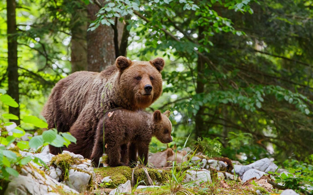 Voyage Famille observation des ours - vacances sur mesure Slovénie Europe